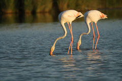 The couple of greater flamingos(Phoenicopterus roseus) wade thr. The couple of greater flamingos (Phoenicopterus roseus) wade through lagoon royalty free stock images