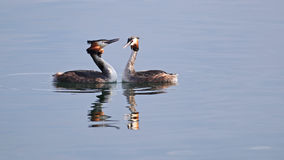 Couple of grebes in the Spring Royalty Free Stock Photography