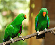 Couple of green eclectus parrots Stock Photo