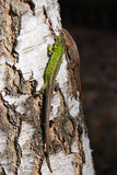 A couple of green lizards Royalty Free Stock Image