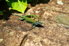 Couple of green lizards Royalty Free Stock Images