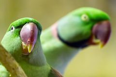 Couple of green lovebirds Royalty Free Stock Photos