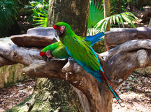 The couple of green parrots macaws in Xcaret park Mexico Stock Photography