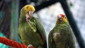 Couple of green parrots resting. Big adult green parrots resting over a red hanging wire in his habitat in a zoo, wild birds in a big cage, parrots in green stock image