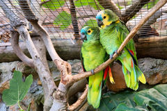 Couple of green parrots Royalty Free Stock Photography