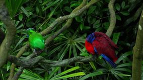 Green and red couple Eclectus parrots. Couple of Green red Eclectus parrots perching at wood branch stock video footage