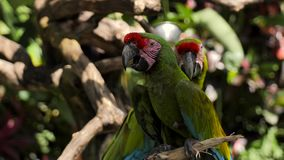 Couple of green red macaw parrots on a branch in a reserve on the island of Bali