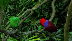 Green and red couple parrots. Couple of Green red Parakeet Alexandrine Parakeet parrots perching at wood branch stock video
