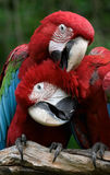 Couple (Green-winged macaws). Green-winged macaws playing Stock Photo