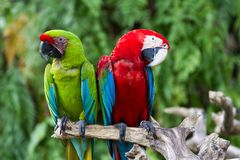 Couple of Green-Winged and Scarlet macaws in nature surrounding. Bali, Indonesia Stock Image