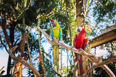 Couple of Green-Winged and Scarlet macaws in nature surrounding, Bali Royalty Free Stock Image