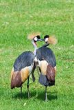Couple of Grey crowned Crane Royalty Free Stock Images