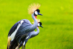 Couple of Grey Crowned Crane Royalty Free Stock Image