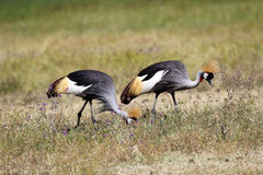 Couple of grey crowned cranes Stock Images