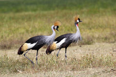 Couple of grey crowned cranes Royalty Free Stock Photography