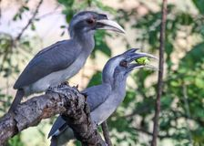 Couple of Grey Hornbills on branch. A pair of lovely Indian grey hornbills Ocyceros birostris sitting together on a dry branch, enjoying their meal of fruits royalty free stock photos