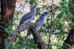 Couple of Grey Hornbills on branch. A pair of lovely Indian grey hornbills Ocyceros birostris sitting together on a dry branch, enjoying their meal of fruits stock photography
