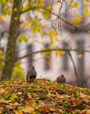 A couple of the Grey Partridge Royalty Free Stock Image