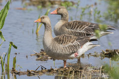 Couple Greylag gooses Royalty Free Stock Image