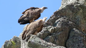 Couple of Griffon Vultures near Salto del Gitano, Spain stock footage