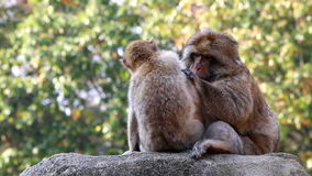 Couple of grooming Barbary Macaques Royalty Free Stock Image