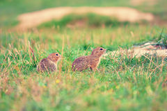 Couple of ground squirrel looking some corns and feeding. Small animal sitting in  grass. Royalty Free Stock Photos