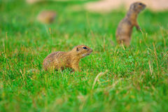 Couple of ground squirrel looking some corns and feeding. Small animal sitting in  grass. Stock Photos