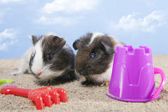 Couple of guinea pig playing in the sand Royalty Free Stock Image