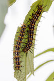 Couple of Hairy Caterpillar on the same green leave Royalty Free Stock Photo