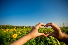 Couple hands in form of heart against sunflower landscape. Hands in shape of love heart royalty free stock image