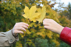 Free Couple Hands With Maple Leaves Royalty Free Stock Photography - 1346447