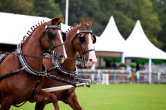 Couple of harnessed horses Royalty Free Stock Image