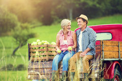 Couple harvesting apples Royalty Free Stock Image