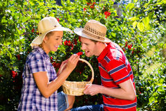 Couple harvesting berries in garden from bush Stock Images