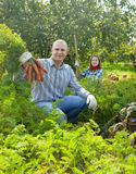 Couple  harvesting carrots. Happy couple  harvesting carrots in field Stock Images
