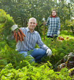 Couple  harvesting carrots Stock Images