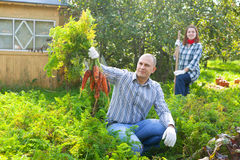 Couple  harvesting carrots in field Royalty Free Stock Photography