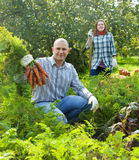 Couple  harvesting carrots in field Stock Images