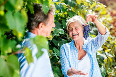 Couple harvesting grapes. Portrait of a senior couple harvesting grapes Stock Photo