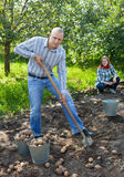 Couple  harvesting potatoes Stock Images