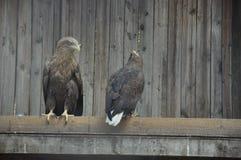 Couple of hawks Stock Photo