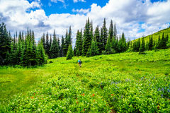 Couple hiking through the mountain alpine meadows with wild Flowers on Tod Mountain Royalty Free Stock Image