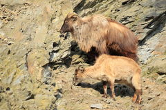 Himalayan tahr. The couple of himalayan tahrs on the rock Stock Image