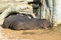 A couple of hippopotamus. Two big hippos sleeping together Royalty Free Stock Photos