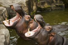 A couple of hippos in the river. The hippos opened their mouths waiting for food. A couple of hippos in the river. The hippos opened their mouths waiting for Stock Photo
