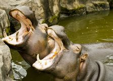 A couple of hippos in the river. The hippos opened their mouths waiting for food. A couple of hippos in the river. The hippos opened their mouths waiting for Stock Photos