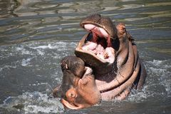 Couple of hippos swim and play in water. Couple of hippos swim, dive and play in river water with splashes biting each other in animal mating games, sunny day Stock Image