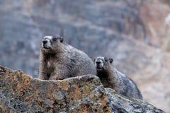 Couple of Hoary Marmots. Royalty Free Stock Photo