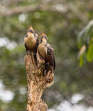 A couple of the Hoatzin. This couple of the Hoatzin (Opisthocomus hoazin) causes surprise because of it´s bizarre aspect Royalty Free Stock Photography
