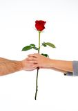 Couple holding a red rose together on white background Stock Photo